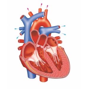 Inside-the-heart